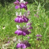 Chinese Houses - Collinsia concolor