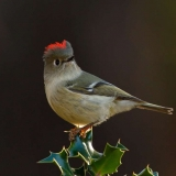 Ruby Crowned Kinglet - Photo by Willie Hall