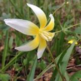 Sierra Fawn Lily