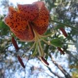 Humboldt's Lilies