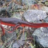 Sierra Newt