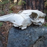 Cow skull decorates the path