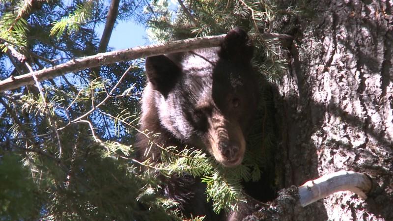 bear Still 1