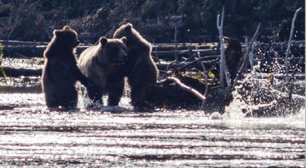 Babine River grizzlies